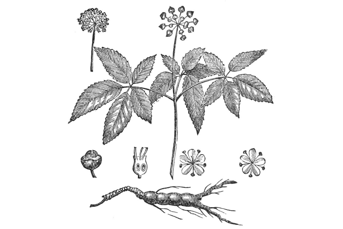 Ginseng plant, 1718. Illustration by Louis Boudan, Wikimedia