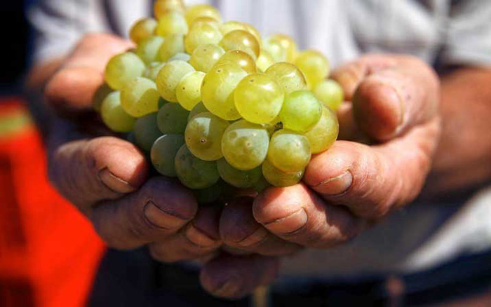 "Voskehat, ""the queen of Armenian grapes."" Photo courtesy of Vineyards of Armenia"