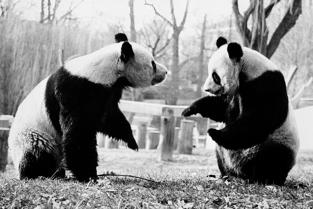 Ling-Ling and Hsing-Hsing at the National Zoo, 1973. Photo courtesy of Smithsonian Institution Archives