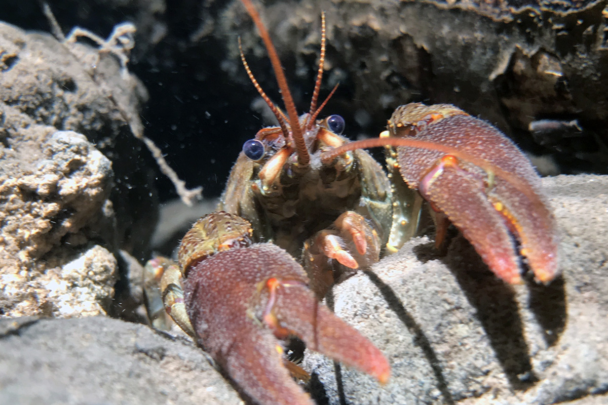 The white-clawed crayfish may grow to 4.7 inches long, but more common are those of 3.9 inches and under. Photo courtesy of Fenando Loras