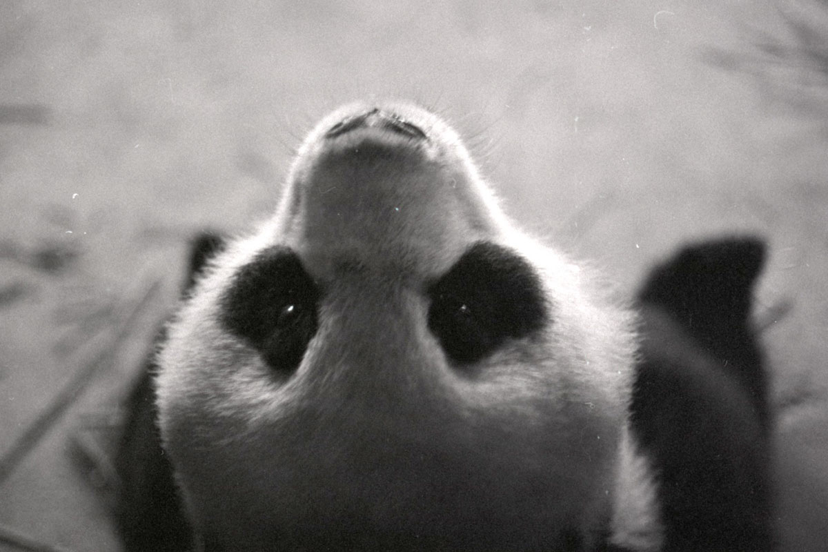 Where'd You Get Those Eyes? The Folklore of Pandas