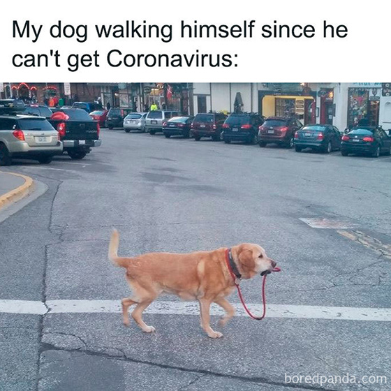 "Text: ""My dog walking himself since he can't get Coronavirus"" with image of dog walking through a crosswalk holding the end of its own leash in its mouth"