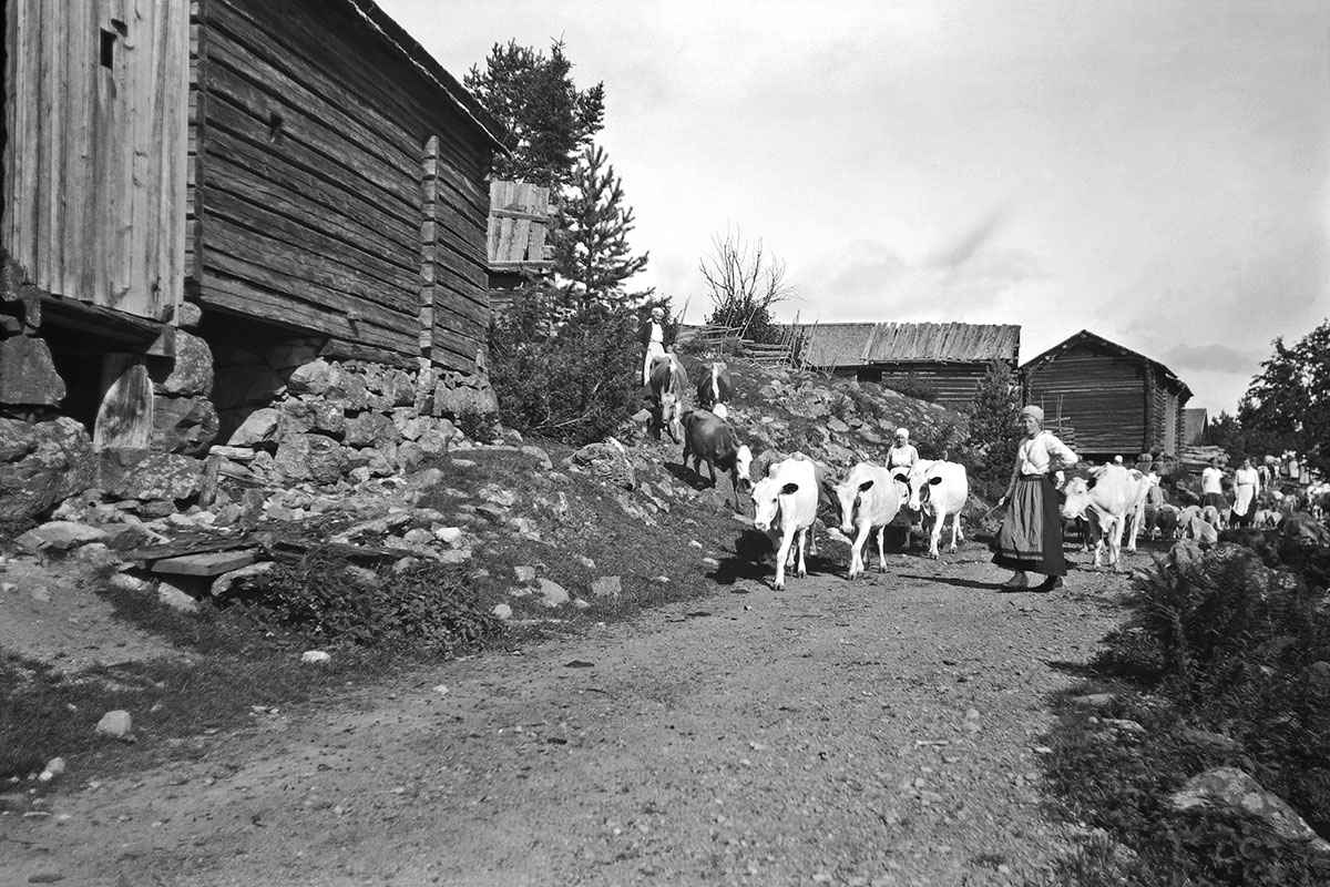Women lead a herd of cows down a rural road. Black and white photograph.