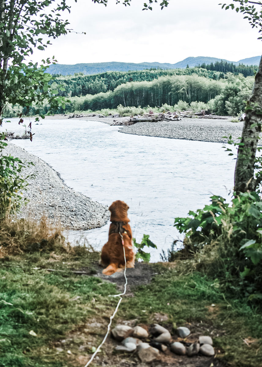 Seen from behind, a golden retrieve on a long leash looks out over a river and rolling green hills.