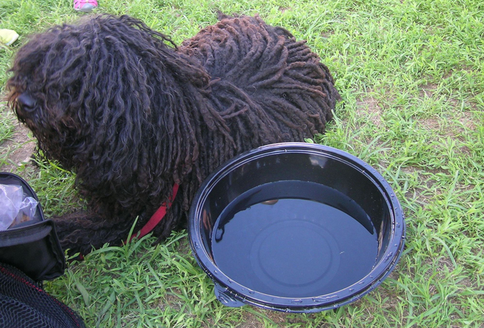 A Puli dog stops for a drink of water at the base of the Puli sculpture.