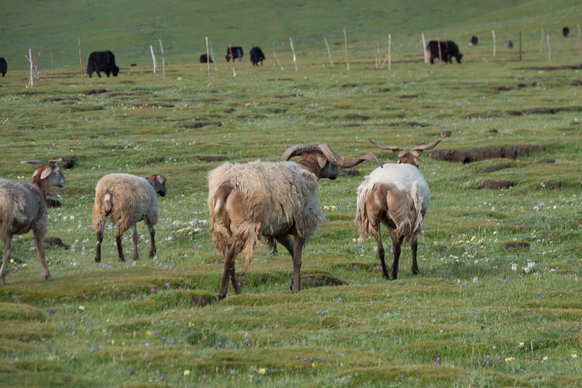 Yaks and sheep in Sonak Village, Qinghai Province.